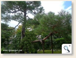 岩倉具視旧宅松の木